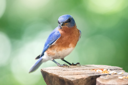 Eastern Bluebird Sialia sialis perching on a tree stump in Maryland during the Spring Stock Photo