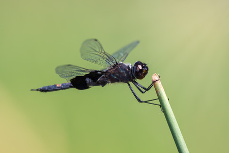 Black Saddlebags dragonfly Tramea lacerata resting on a twig during the Summer