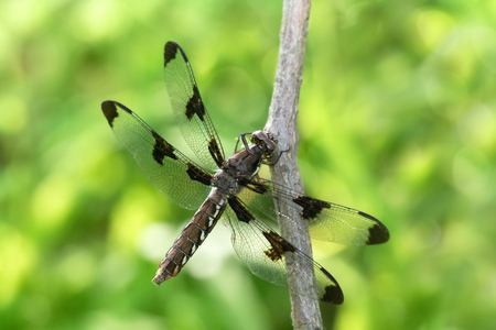 Common Whitetail dragonfly Plathemis lydia perching on a twig in Maryland during the Summer
