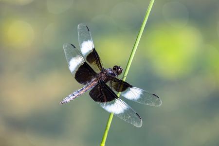 夏の間にメリーランドの小枝で休んで未亡人スキマー トンボ Libellula luctuosa 写真素材