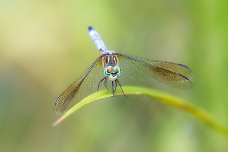 Blue Dasher dragonfly Pachydiplax longipennis resting on a reed during the Summer