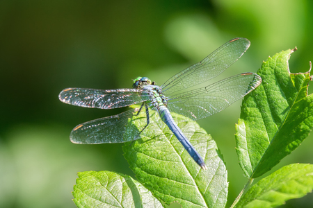 Eastern Pondhawk dragonfly Erythemis simplicicollis resting on a leaf in Maryland during the Summer Stock Photo
