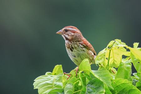 Song Sparrow melospiza melodia empoleirar-se em um arbusto em Maryland durante o verão Foto de archivo - 82574074