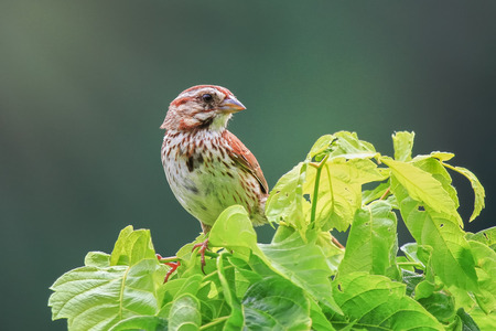 Song Sparrow Melospiza melodia perching in a bush in Maryland during the Summer Banco de Imagens