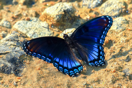 Red-Spotted Purple butterfly Limenitis arthemis modderpuddelen voor mineralen in Maryland tijdens de zomer