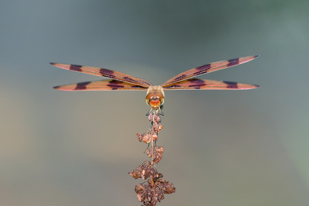 Halloween Pennant dragonfly Celithemis eponina perching on a wildflower in Maryland during the Summer Stock Photo