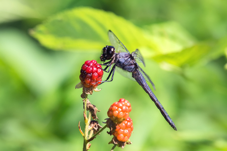 Slaty Skimmer dragonfly Libellula incesta holding its prey and perching on a blackberry in Maryland