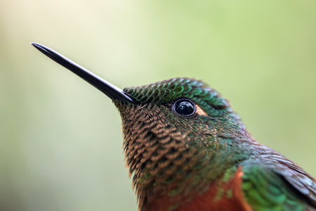 Chestnut-breasted Coronet Boissonneaua matthewsii hummingbird in Ecuador, South America