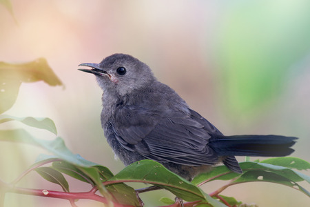 ruiseñor: Gray Catbird Dumetella carolinensis perching in a Pokeweed bush in Maryland during the Summer