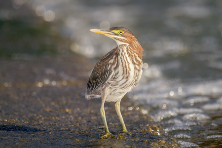 striated: Green Heron Butorides virescens hunting by a dam in Maryland during the Fall