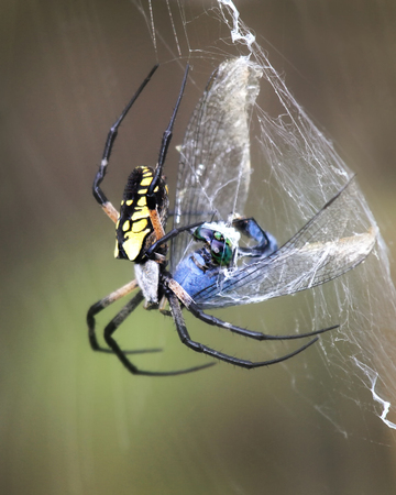 Black and Yellow Garden Spider Argiope aurantia wrapping her prey in a cocoon of silk in Maryland during the Summer