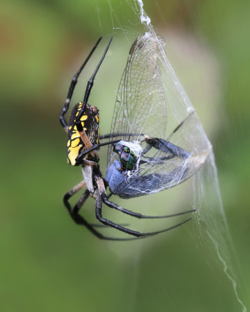 pondhawk: Black and Yellow Garden Spider Argiope aurantia wrapping her prey in a cocoon of silk in Maryland during the Summer