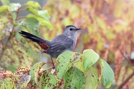 ruiseñor: Gray Catbird Dumetella carolinensis perching in a bush in Maryland during the Summer