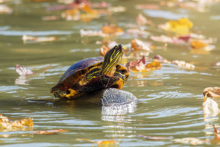 Red-eared Slider pond turtle Trachemys scripta elegans basking on a log in Maryland during the Fall