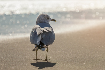 Ring-billed Gull Larus delawarensis standing on the beach on Assateague Island during the Winter Stock Photo