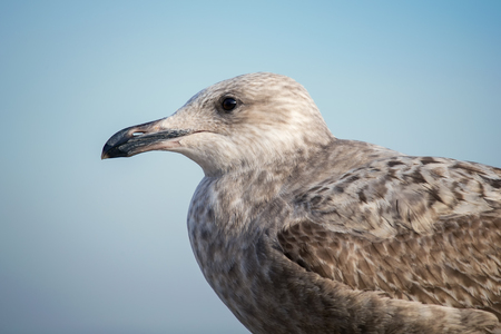 Herring Gull Larus argentatus juvenile portrait taken in Maryland during the Winter