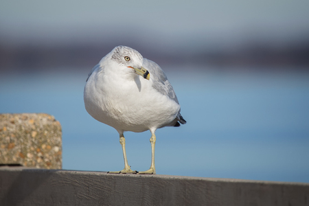 Ring-billed Gull Larus delawarensis standing by the Choptank River in Maryland during the Winter Stock Photo