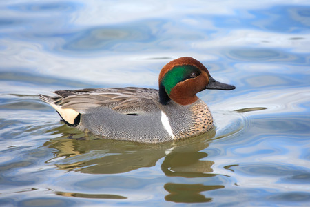 Green-winged Teal duck Anas crecca swimming on the Choptank River in Maryland during the Winter