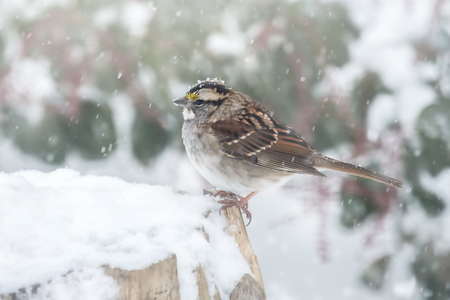 White-throated Sparrow Zonotrichia albicollis standing in the snow in Maryland during a blizzard