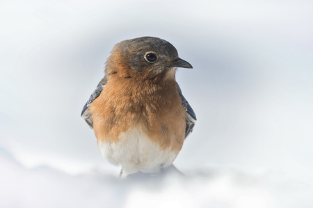 Eastern Bluebird Sialia sialis perched in the snow in Maryland during the Winter Stock Photo