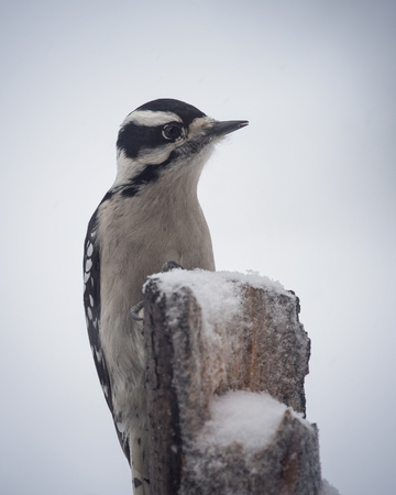 Downy Woodpecker Picoides pubescens perching on a tree stump in Maryland during the Winter