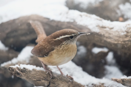 Carolina Wren Thryothorus ludovicianus standing in the snow in Maryland during the Winter