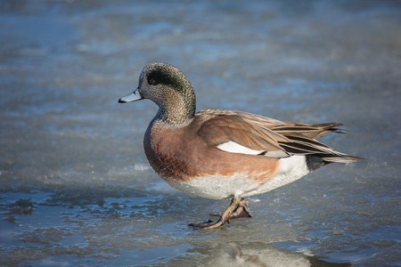 American Wigeon Anas americana walking on ice on the Choptank River in Maryland during the Winter