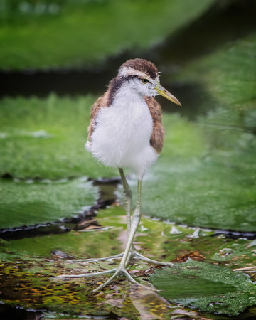 Northern Jacana Jacana spinosa chick standing on a lily pad in Costa Rica