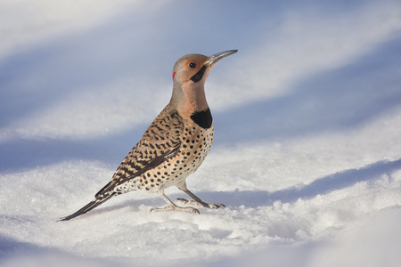 Northern Flicker woodpecker Colaptes auratus standing in the snow in Maryland during the Winter