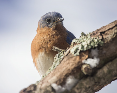 Eastern Bluebird Sialia sialis perching on a tree stump in Maryland during the Winter Stock Photo