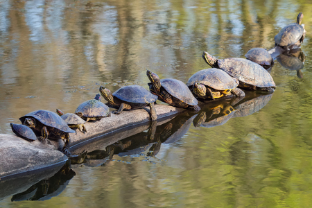 Red-eared Sliders Trachemys scripta elegans and Painted Turtles Chrysemys picta basking on a log during the Spring