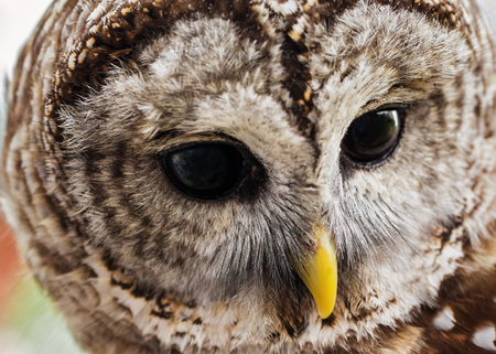 Barred Owl Strix varia portrait taken in Maryland during the Spring Imagens