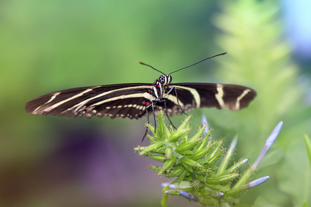 Zebra Longwing butterfly Heliconius charithonia perching on a leaf Stock Photo