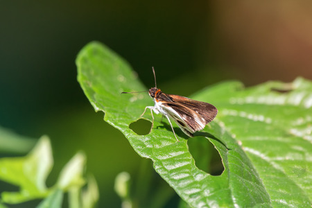 Skipper butterfly from the family Hesperiidae perching on a leaf in Guatemala