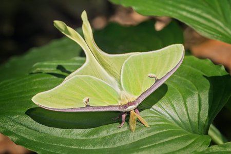 Luna Moth Actias luna perching on a leaf in Maryland during the Summer