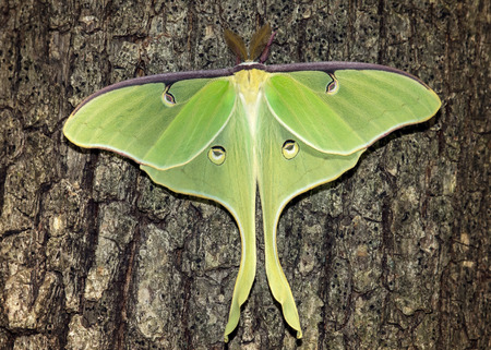 Luna Moth Actias luna perching on an oak tree in Maryland during the Summer 写真素材