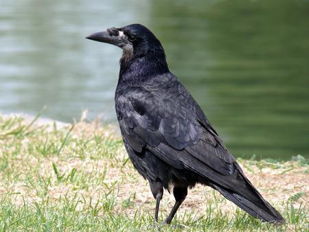Rook Corvus frugilegus bird standing on grass in Gloucestershire, England