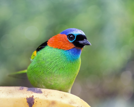 Red-necked Tanager Tangara cyanocephala bird eating banana in the Atlantic forest near Rio de Janeiro, Brazil