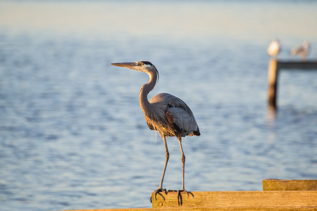 Great Blue Heron Ardea herodias perching on a pier in Blackwater National Wildlife Refuge during the Winter Stock Photo