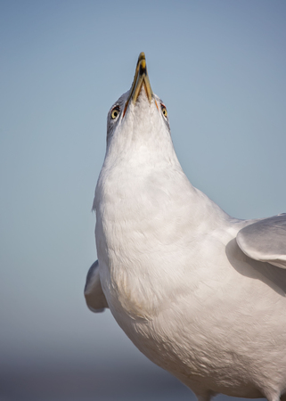 Ring-billed Gull Larus delawarensis vocalizing by the Choptank River in Maryland during the Winter