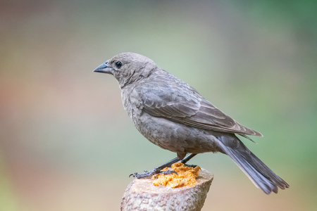 Brown-headed Cowbird Molothrus ater perching on a log in Maryland during the Spring