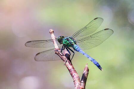 L'Est de la libellule Pondhawk Erythemis simplicicollis reposant sur une brindille dans le Maryland pendant l'été Banque d'images