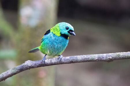 Green-headed Tanager Tangara seledon bird perching on a twig in the Atlantic forest near Rio de Janeiro, Brazil