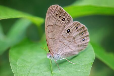 Eyed Brown butterfly Satyrodes eurydice perched on a leaf in Vermont during the Summer