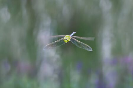Green Darner dragonfly Anax junius in flight in Vermont during the Summer