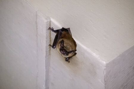 Big Brown Bat Eptesicus fuscus roosting on a house in Maryland during the Summer