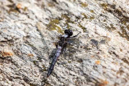 Chalk-fronted Corporal dragonfly Ladona julia resting on a rock in Vermont during the Summer