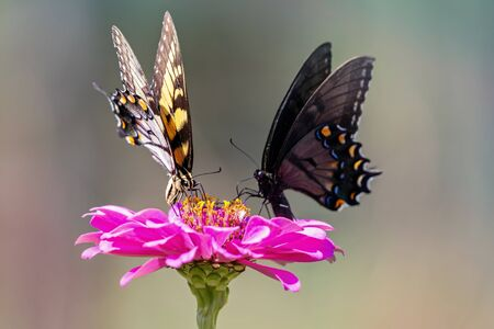 Eastern Tiger Swallowtail butterfly Papilio glaucus feeding on a pink flower in Maryland during the Summer Standard-Bild - 129250291
