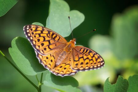 Atlantis Fritillary butterfly Speyeria atlantis resting on a leaf in Vermont during the Summer Banque d'images