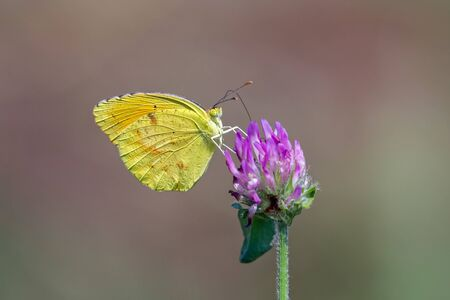 Sleepy Orange butterfly Eurema nicippe feeding on a clover flower in Maryland during the Summer Stock Photo